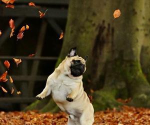dog, autumn, and pug image