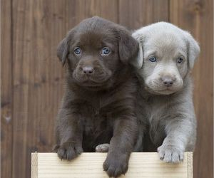 dog, puppy, and labrador image