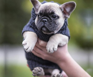 frenchies, frenchie, and frenchiesofinstagram image