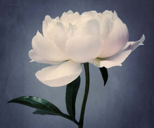 flower, peony, and white flower image