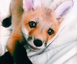 animal, fox, and cute image