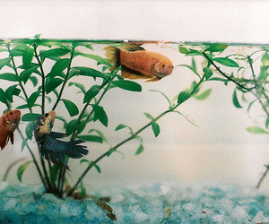 35mm, betta, and peixes image