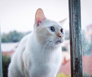 animals, blueeyes, and whitecat image