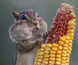 animal, corn, and squirrel image