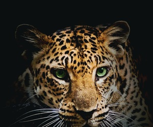 animal, wallpaper, and tiger image