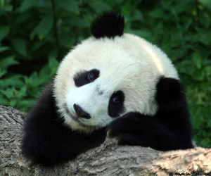 panda, cute, and adorable image