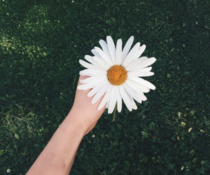 daisy, pretty, and flower image