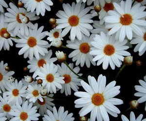 daisy, background, and flores image