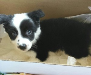 adorable, border collie, and dog image