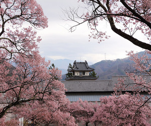 sakura, japan, and pink image