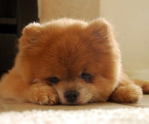 chow chow, dog, and pet image