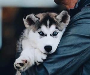 adorable, animal, and blue eyes image