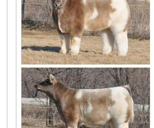 cow, tumblr, and cute image