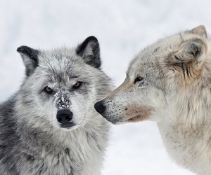 wolf, snow, and animal image