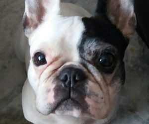 bulldog, dog, and ever image