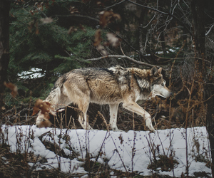 forest, wolf, and wolves image