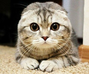 cat, beautiful, and scottish fold image