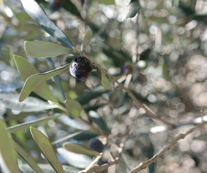 italy, leaves, and olive image