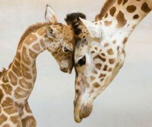 giraffes image
