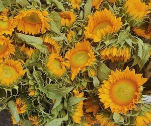 nature, plants, and sunflowers image