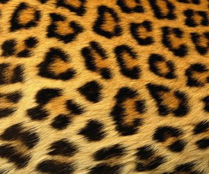 leopard, background, and cheetah image