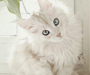 beautiful, maine coon, and big eyes image