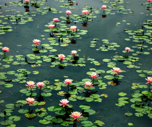 flowers, green, and water lily image
