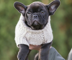 frenchies, puppies, and puppys image