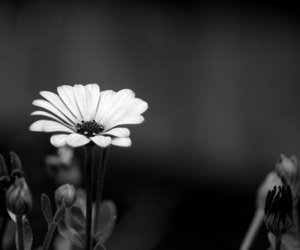 flowers, black and white, and pretty image