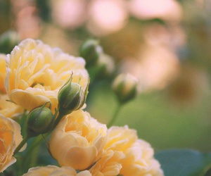 bokeh, roses, and flowers image