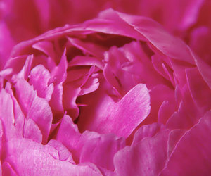 flower and pink peony image