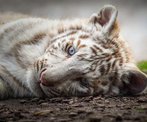 cub, nikon, and tiger image