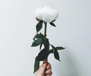 photograph, rose, and white image