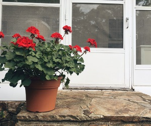 flowers, pretty, and geraniums image