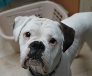 adorable, boxer, and dog image