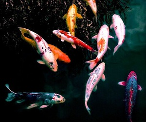 fish, water, and koi image