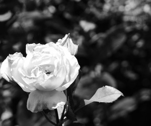 Fleurs, rose, and tristesse image