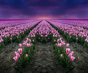 pink, tulips, and sowing image