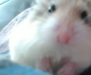 curioso, hamster, and cute image
