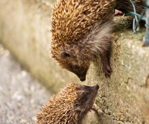 animal and hedgehog image