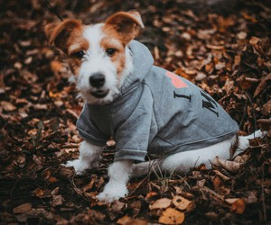 dog, puppy, and jack russell image