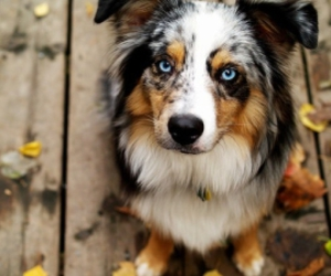 dog, cute, and blue eyes image