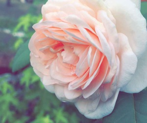 garden, pretty, and roses image