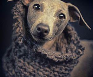 doggie, greyhound, and italian image