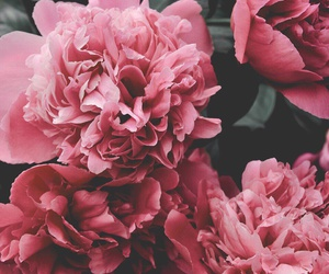 flowers, pink, and peony image