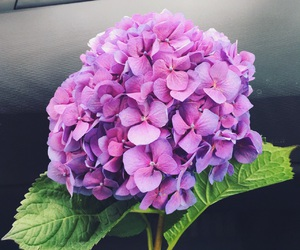 beauty, flowers, and hydrangea image
