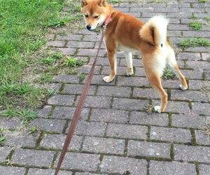 belgium, shiba inu, and going for a walk image