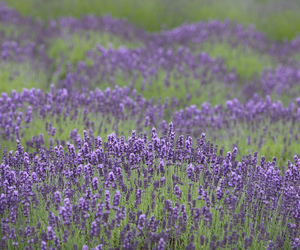 flowers, lavender, and photography image