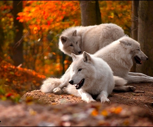 autumn and wolves image