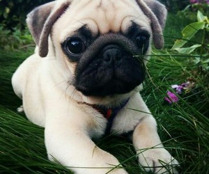 pug, puppy, and follow me image